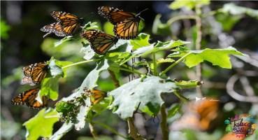donato guerra municipio que cuida a la mariposa monarca