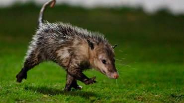 El tlacuache es un animal marsupial del territorio nacional