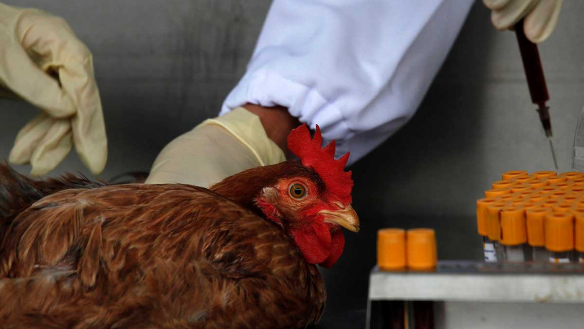 Los especialista recomendaron a las personas de ese país no manipular pollos muertos
