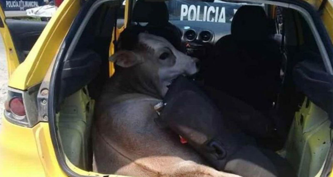 Vaca raptada en tabasco