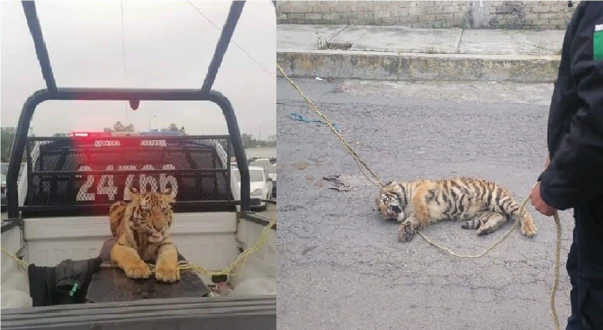 Atrapan en Edomex a cachorro de tigre que andaba suelto en Cuautitlán Izcalli