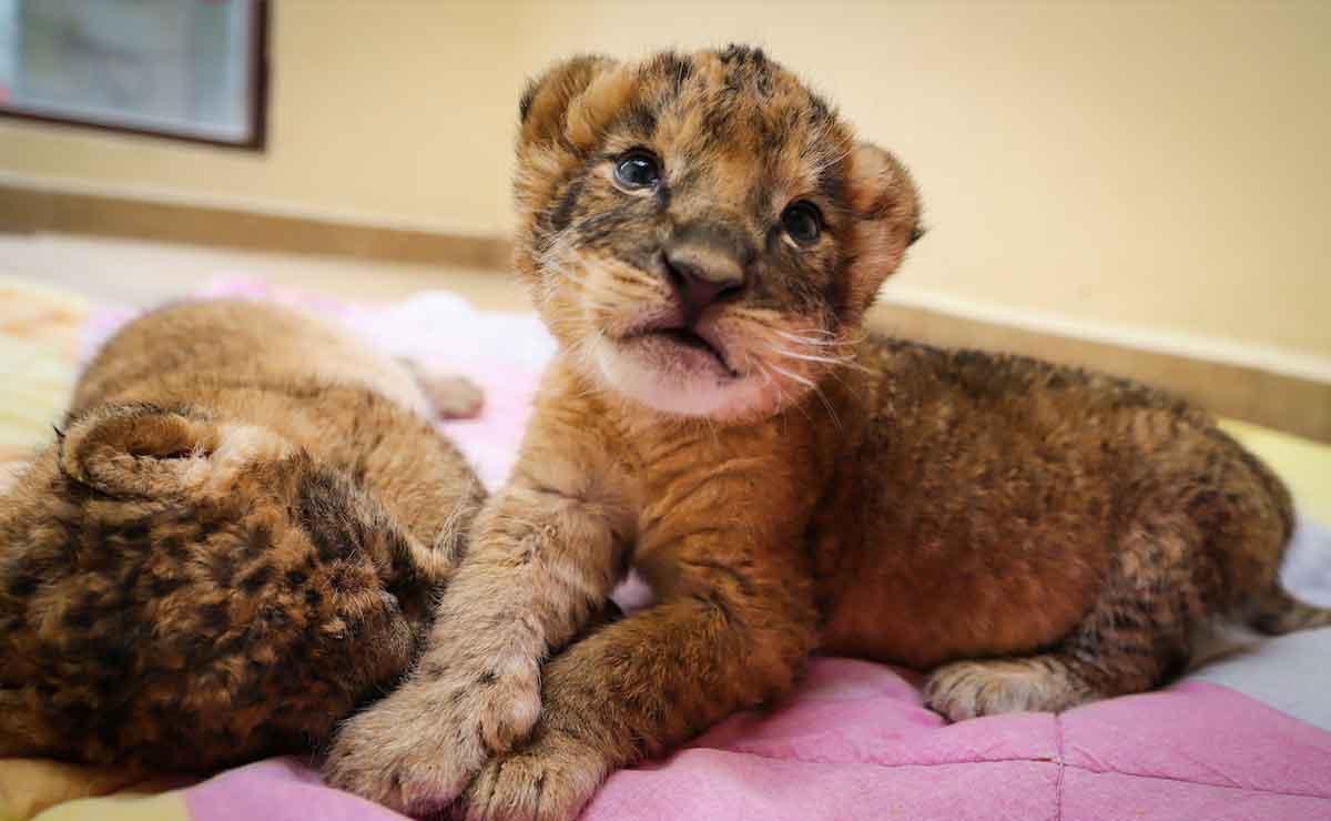 Zoológico de Zacango te invita a conocer los nuevos cachorros de león