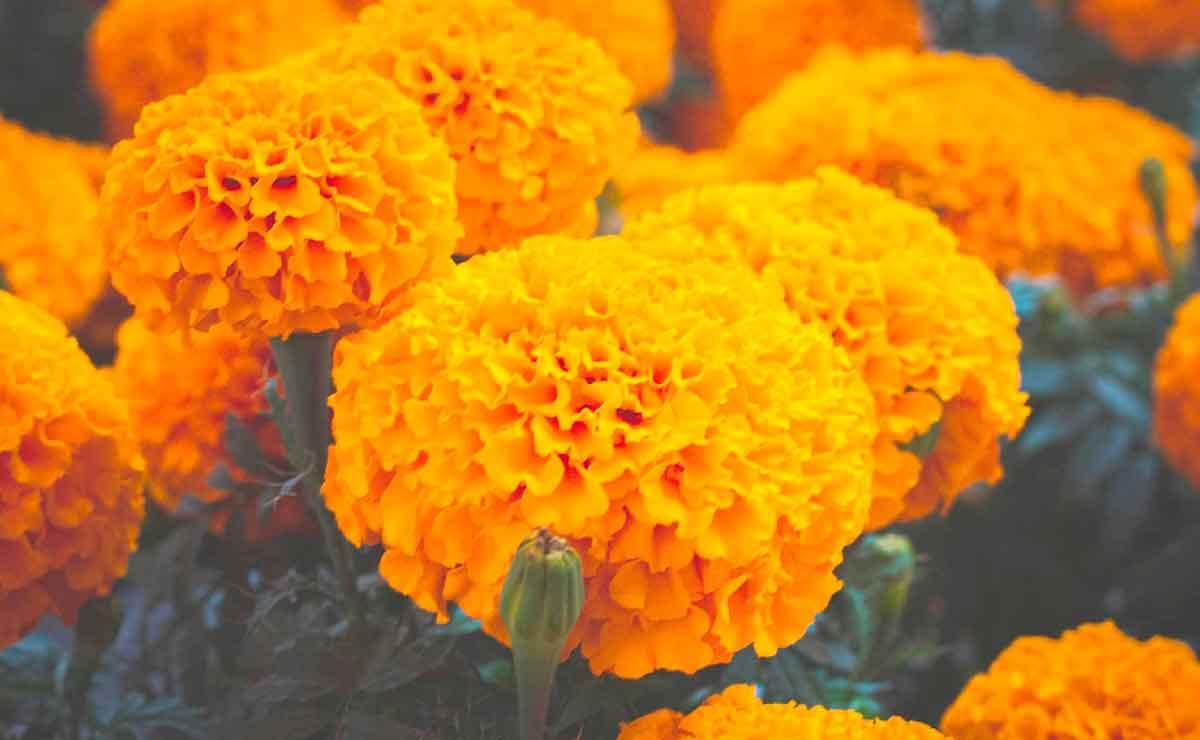 Este Día de Muertos evita comprar Cempasúchil chino ¿cómo identificarlo?