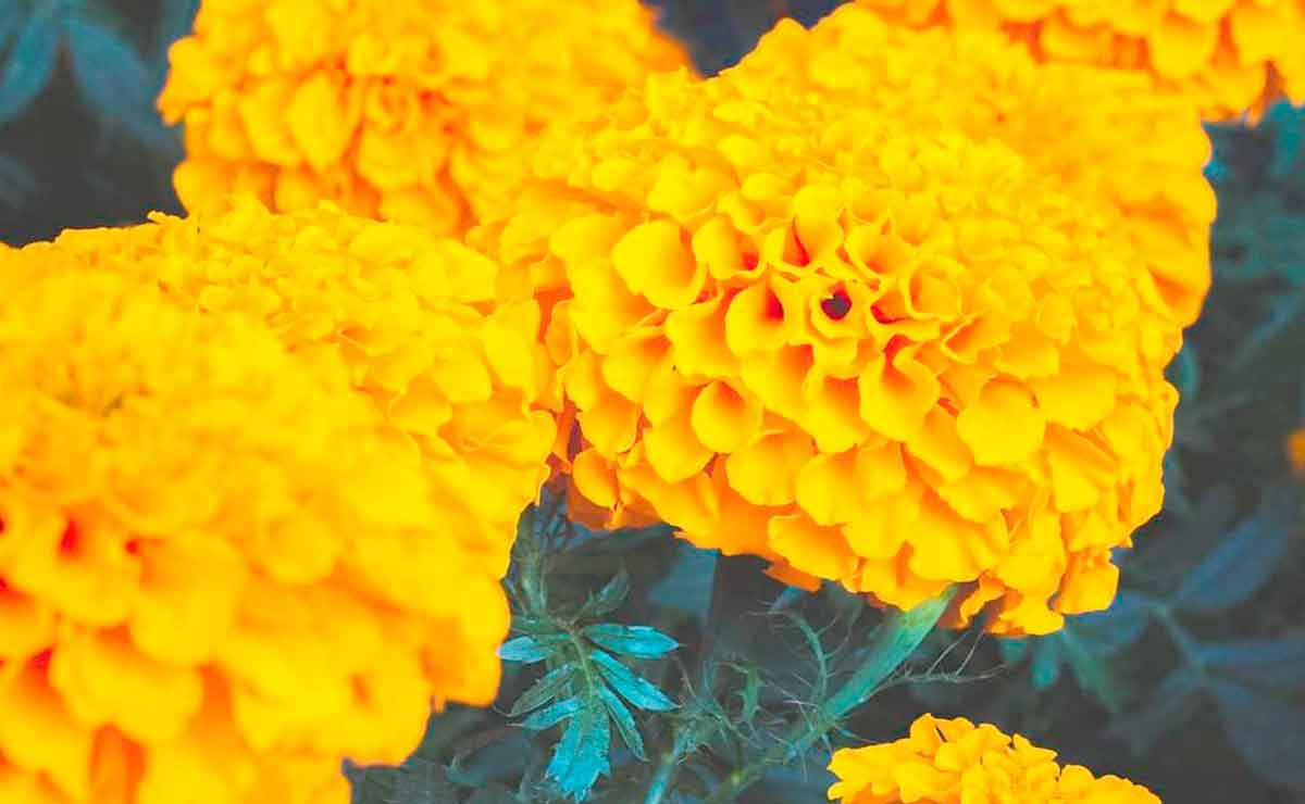 Flor de Cempasúchil significado para Día de Muertos